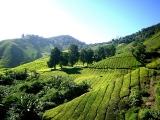 4D Cameron Highlands/ Ipoh Fully Guided Tour