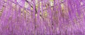 7D5N Floral Kanto ~Purple Fuji + Shibazakura~