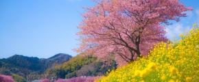H.I.S. Kawazu Cherry Blossom Festival Day Tour