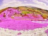 7D5N Hokkaido Floral Series ~A Date with Shibazakura~