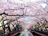 8D 7N Glamorous Busan Jinhae Cherry Blossom Festival by Singapore Airlines  (code: KHGCB08)