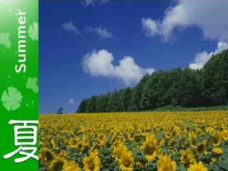 Lavender and Sunflower Story in Hokkaido 8D5N