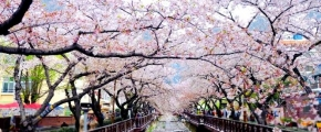 8D 7N Glamorous Busan Jinhae Cherry Blossom Festival by Singapore Airlines  (code: KHGCB08)