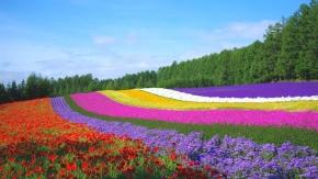 8D6N Hokkaido Lavender (10 Jul)