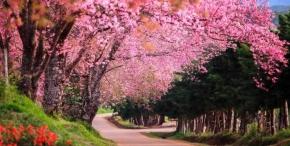 5D4N Chiangmai Sakura Cherry Blossom