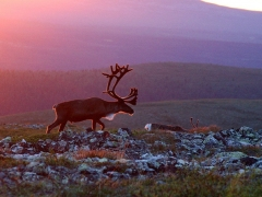 7-Day Midnight Sun in Lapland