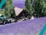7D5N Hokkaido Purple Romance by Singapore Airlines